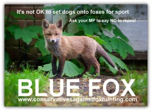its not ok to set dogs onto foxes blue fox conservatives against